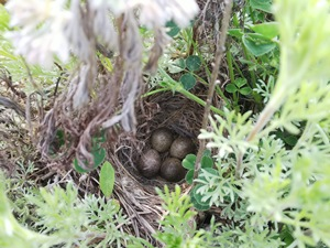 ヒバリの卵です!