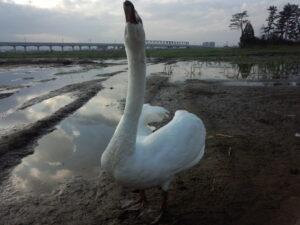 育苗場に一匹でよく来た、はぐれ白鳥
