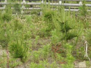 JR連合さん30名が2年前草刈りをした苗のいま