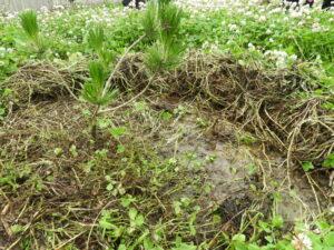 草を取り除いたら、そこは水たまり