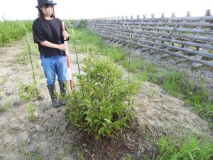 実生のハンノキ。このほか、低木の萩の実生は多く見られます。