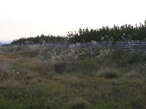 2014年植栽地北端。クロマツも防風垣も被害なし。
