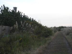 2014年植栽地南端。航空機誘導道付近。盛土が出来た当初は、作業道が冠水して、よく通行不能になった場所。