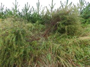 ハギの木は、除伐しても、風で根元から折れても、また復活する。