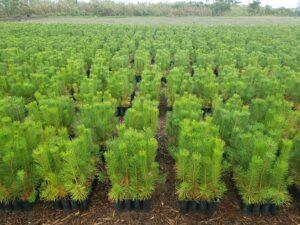 来年植栽用の苗木