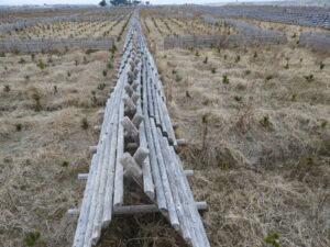 2019年度みんなで掘った溝は、防風垣の下のLLサイズだけ1,150m!左右に見えているMサイズ溝は除いて!