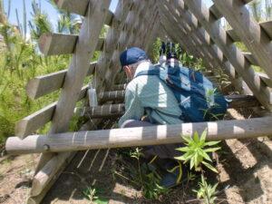 防風垣の中で葛の薬剤枯殺をする小林さん(2020年6月20日)