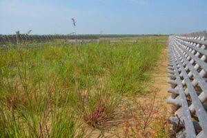 イネ科単年草のオヒシバ、メヒシバの繁茂。ここは2020年5月植栽地だと思います(by吉田)