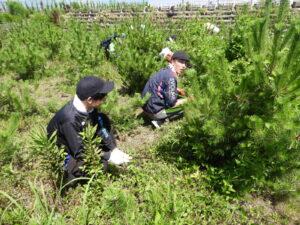7月17日(土)のボランティア公募日は、1.15haの葛・ツルマメ繁茂区で、5,750本のクロマツの生育環境を整えました。