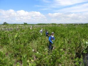 7月31日、東北在住者ボランティアの日10名で、2016年植栽地の「クズ」集中繁茂地の一つ、0.05haを2.5時間かけて、完全刈り取り。